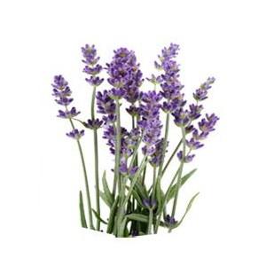 http://www.melissa-nature.fr/img/p/88-114-thickbox.jpg